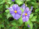Arbre à gentiane, Solanum rantonnettii
