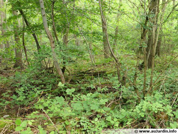 Nombreuses intéractions allélopathiques dans le milieu forestier