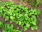 Epinard, Spinacia oleracea