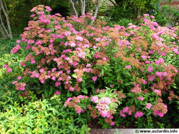 spir e du japon spiraea japonica planter cultiver multiplier. Black Bedroom Furniture Sets. Home Design Ideas