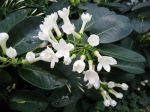 Jasmin de Madagascar, Stephanotis floribunda