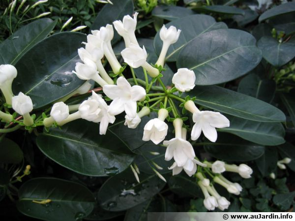 jasmin de madagascar stephanotis floribunda conseils de culture. Black Bedroom Furniture Sets. Home Design Ideas
