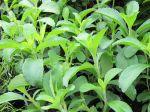 Herbe à sucre, Chanvre d'eau, Stevia rebaudiana