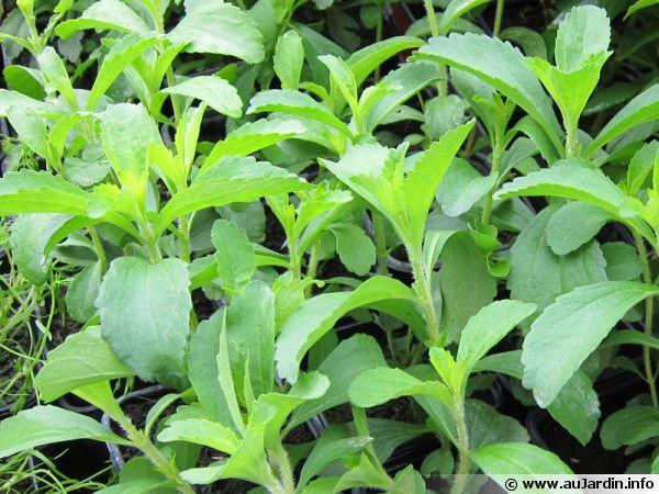 Herbe à sucre, Stevia rebaudiana