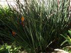 Oiseau du paradis sans feuille, Strelitzia juncea