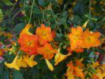 Streptosolen de Jameson, Browallia orange, Streptosolen jamesonii