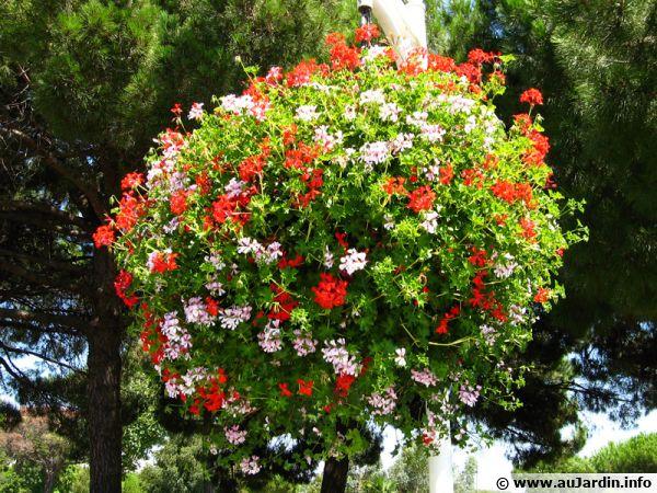 Une suspension fleurie composée de géraniums lierres