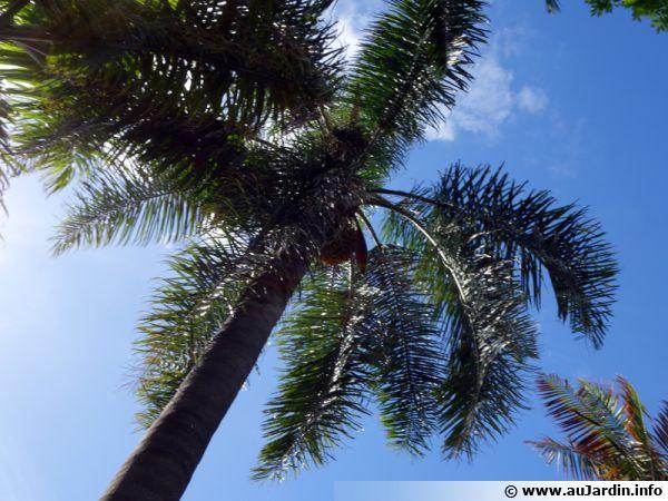 Palmier de la reine cocotier plumeux cocotier de - Palmier cocotier ...