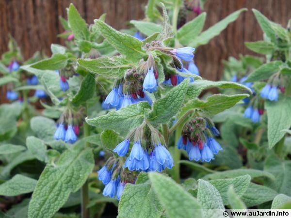 Consoude du caucase symphytum caucasicum planter cultiver - Graine de consoude ...