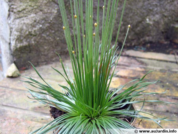 Mikado, Syngonanthus chrysanthus 'Mikado'