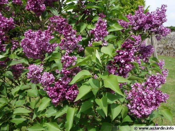 Lilas de Hongrie, Syringa josikaea