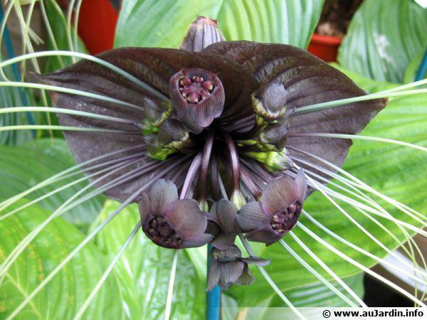 Plante chauve-souris, Fleur du diable, Tacca chantrieri