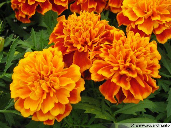 L'oeillet d'Inde est une plante tinctoriale utilisée pour produire de la couleur jaune à orange