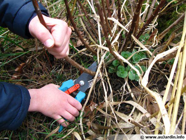 Le sécateur n'est jamais loin de la main du jardinier
