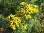 Tanaisie, Barbotine, Herbe aux vers, Tanacetum vulgare