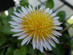 Pissenlit à fleurs roses, Taraxacum pseudoroseum