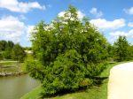 Cyprès chauve, Cyprès de Louisiane, Taxodium distichum