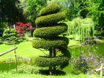 If commun taillé dans un jardin japonais