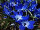 Crocus bleu du Chili,  Tecophilaea cyanocrocus