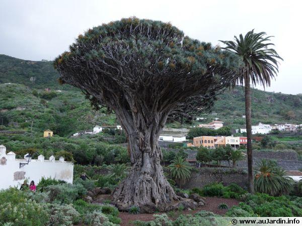 Le fameux El Drago de Los Vinos à Ténérife aux Canaries