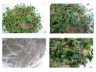 Le test du cresson pour évaluer la pollution d'un sol