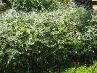 Germandrée arbustive, Germandrée en arbre, Germandrée d'Espagne, Teucrium fruticans