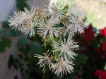 Pigamon à feuilles d'ancolie, Colombine panachée, Colombine plumeuse, Thalictrum aquilegifolium