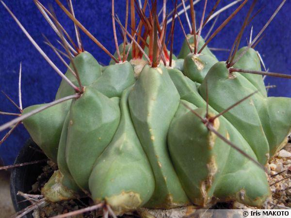 Copiapoa du Mexique, Thelocactus rinconensis