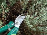 Récolte et conservation du thym