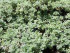 Thym laineux, Thymus pseudolanuginosus