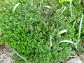 Thym-citron, Thymus citriodorus