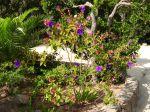 Tibouchina urvilleana, Tibouchine, Fleur araign�e