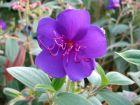 Tibouchine, Fleur araignée, Tibouchina urvilleana