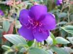 Fleur de Tibouchina urvilleana, Tibouchine, Fleur araign�e