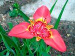 Oeil de paon, Tigridia pavonia, Fleur de paon, Lis de tigre