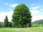 Le tilleul, un arbre médicinal et utilitaire