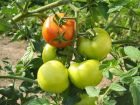 Cultiver les tomates avec la lune