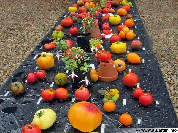 Il existe de très nombreuses variétés de tomates