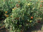 Questions fréquentes sur la tomate