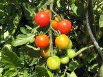 Cultiver des tomates en pots