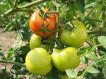 Le calendrier de culture de la tomate