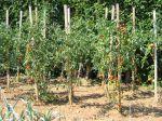Tailler les plants de tomates