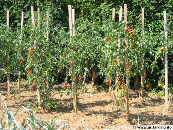 Tailler les plants de tomates for Protection plante gel