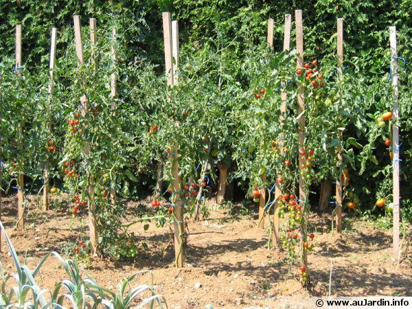 Tailler les plants de tomates - Plantation de tomates ...