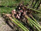 Comment récolter, conserver et cuisiner les topinambours?