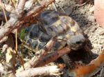 La tortue d'Hermann, une rencontre magique