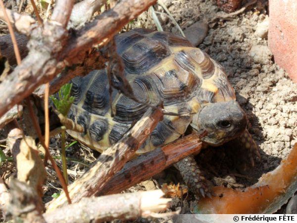 La tortue d'Hermann