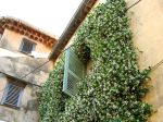 Un jasmin etoilé à l'assaut d'une façade dans le sud de la France