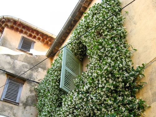 Jasmin etoil trach losperme trachelospermum jasminoides - Jasmin de virginie etoile ...
