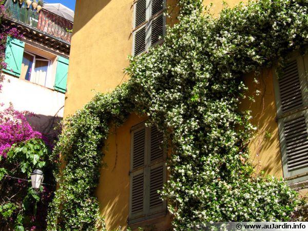 Le jasmin étoilé, surement une des plantes grimpantes les plus parfumées